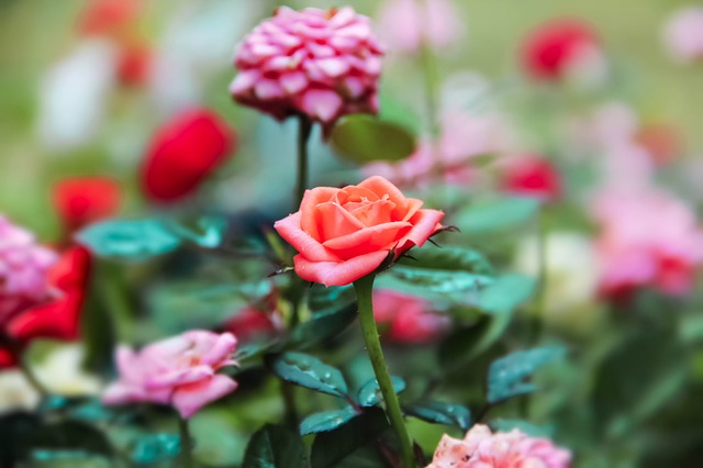 Tips About How To Grow Roses - Rose Gardening